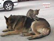 Kedi, köpeğe masaj yapıyor!
