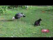 Kedi ve hindi dostluğu