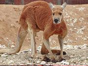 Kanguru ve köpeğin kavgası