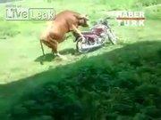 Motosiklete göz koyan boğa