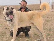 Sivas Kangal köpeğine rekor fiyat