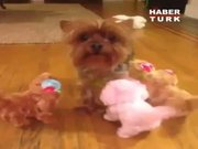 Travma geçiren köpek