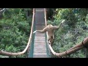Akrobatlara taş çıkartan maymun