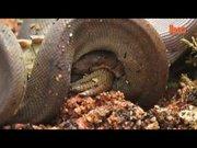 Anakonda timsahı böyle yedi