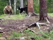 Köpek ayıya böyle meydan okudu!