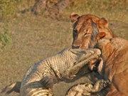 Aslan timsaha acımadı!