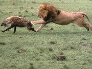 Aslan öyle bir şey yaptı ki!