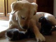 Kedilere annelik yapan köpek