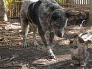 Engelli kedinin en iyi arkadaşı bu köpek
