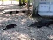 Kedi, timsaha kafa tuttu!