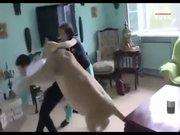 Evde beslenen aslan misafire saldırdı