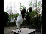 Kalecilikte çığır açan keçi