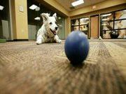 1000'den fazla kelime bilen köpek