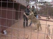 Aslanın kafesine girdi ve olanlar oldu!