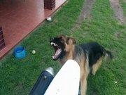 Egzoza kafayı takan köpek