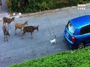 Kediyle karşılaşan geyikler