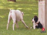 Oyuncak köpekten korkan evcil köpekler