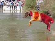 Koyun geçirme yarışı