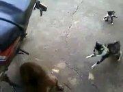 Yavrusunu köpekten kurtaran kahraman kedi