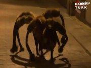 Dev örümcek şakası