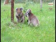 Koalalar kavga ederken bile tembel