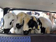 Bagajda 3 koyun var!