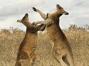 Kanguruların komik kavgası