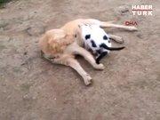 Tekirdağ'da köpek kedi yavrularını emziriyor
