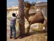 Kesilmek istenen devenin acı intikamı