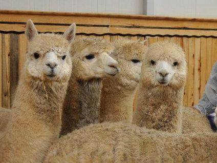Türkiye'nin ilk Alpaka devesi dünyaya geldi!