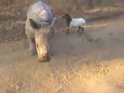 Gergedan ve koyunun inanılmaz dostluğu!