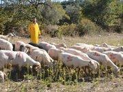 Koyunlarını bile CHP'li yaptı!