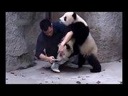 Pandaların ilaç içmeme çabaları harika!
