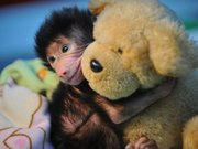 Yavru babuna anne şefkati