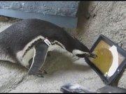 Penguenlerin tablet keyfi