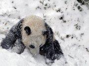 Yavru panda karla tanıştı