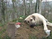 Sahibinin mezarıdan ayrılmıyor!