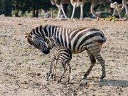 Doğal Yaşam Parkı'nda dünyaya gelen 'İlk zebra yavrusu'